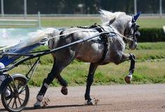 Szary koński kłusaka traken w kłusować na hipodromu nicielnica wyścigi konny obrazy royalty free