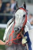 Szary koń Zdjęcia Stock