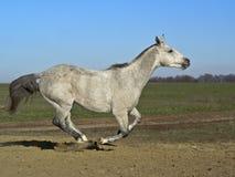 Szary koń Obraz Stock