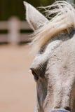 szary koń Fotografia Royalty Free