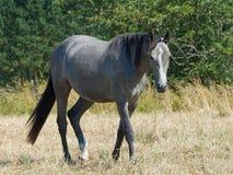 szary koń Zdjęcie Stock