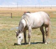 szary koń Fotografia Stock