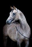 Szary koń odizolowywający na czerni Obraz Stock