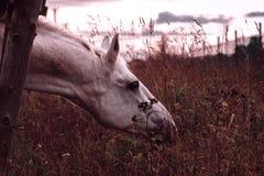 Szary koń tonujący Obrazy Royalty Free