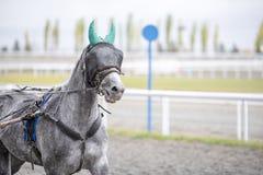 Szary koń z opaską na bieg obraz stock
