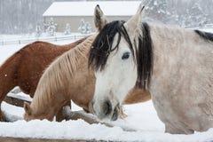 Szary Koński łasowania siano w zimie na Śnieżnym dniu zdjęcie royalty free