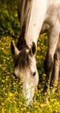 szary koń Obrazy Stock