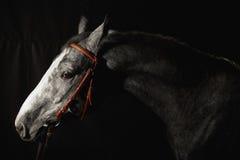 Szary koński portret w czarnym tle Zdjęcia Royalty Free