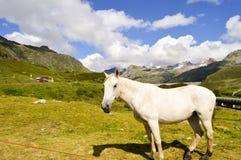 Szary koń w Tyrol Zdjęcia Royalty Free