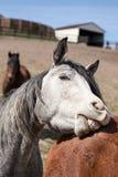 Szary konia Bawić się Zdjęcie Royalty Free