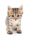 szary kot Obrazy Royalty Free