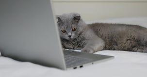 Szary kot jest odpoczynkowy na łóżku blisko laptopu zbiory