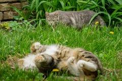 Szary kot jest ostrożnie szują up za wielkim dorosłym kotem który r obraz royalty free