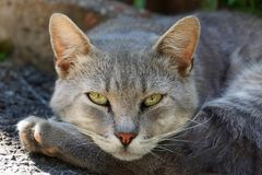 Szary kot kłama na łapie i spojrzeniach Zdjęcia Stock