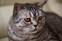 Szary kot kłama w domu obrazy royalty free