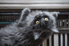 Szary kot kłama na pianinie zdjęcia stock