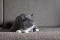 Szary kot kłama Fotografia Royalty Free