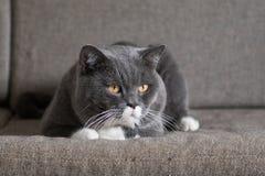 Szary kot kłama Zdjęcie Royalty Free