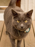 Szary kot na Drewnianym pokładzie Fotografia Stock