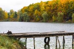 Szary kot na jesieni lakeshore wewnątrz Fotografia Royalty Free