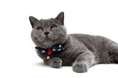 Szary kot odizolowywający na białym tle Zdjęcia Stock
