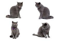 Szary kot odizolowywający na białym tle Obrazy Royalty Free