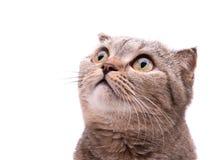 Szary kot patrzeje w górę niespodzianki w fotografia royalty free