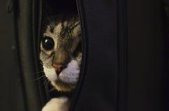 Szary kot Próbuje Uciekać Od torby Z Białymi czub Że Ono Wtyka Wewnątrz Fotografia Stock
