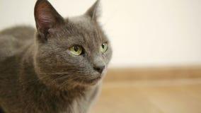 Szary kot, Rosyjski błękitny traken siedzi na brown podłoga uwarstwiający parkietowy zbiory