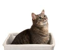 Szary kot siedzi w koszykowy i przyglądający up z zielonymi oczami Obrazy Stock