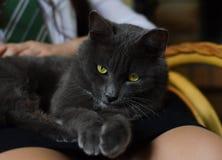 Szary kot z jaskrawymi oczami fotografia stock