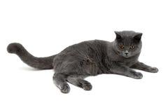 Szary kot z kolorem żółtym ono przygląda się na białym tle Fotografia Royalty Free