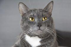 Szary kot z kolorem żółtym ono przygląda się na szarym tle Fotografia Stock