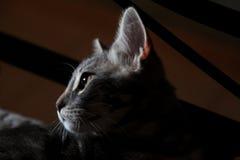 Szary kot z złotymi oczami obrazy stock