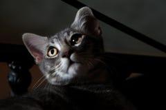Szary kot z złotymi oczami fotografia stock
