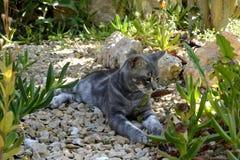 Szary kot z złotymi oczami obrazy royalty free
