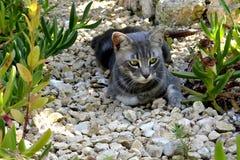 Szary kot z złotymi oczami zdjęcie stock