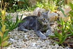 Szary kot z złotymi oczami obraz stock