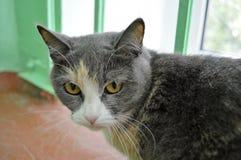 Szary kot - zieleni oczy, biały kaganiec Fotografia Royalty Free
