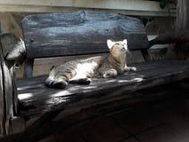 Szary kota lying on the beach na drewniany podłogowy Przyglądającym up przy coś obraz stock