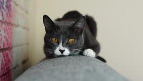 Szary kota obsiadanie na plecy kanapa zbiory wideo