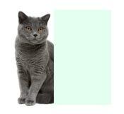 Szary kota obsiadanie za sztandarem na białym tle Zdjęcie Royalty Free