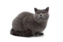 Szary kota zakończenie na białym tle Zdjęcia Royalty Free