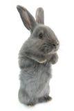 Szary królik obrazy royalty free