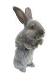 Szary królik zdjęcia royalty free