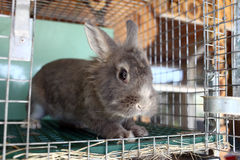 Szary królik Zdjęcia Stock
