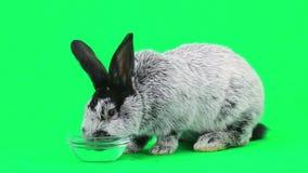 Szary królik zbiory wideo