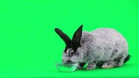 Szary królik zbiory