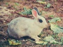 Szary królik Obrazy Stock