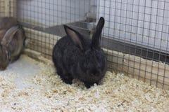 Szary królik Fotografia Royalty Free